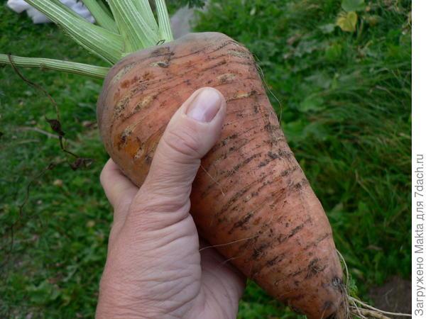 Моя морковь