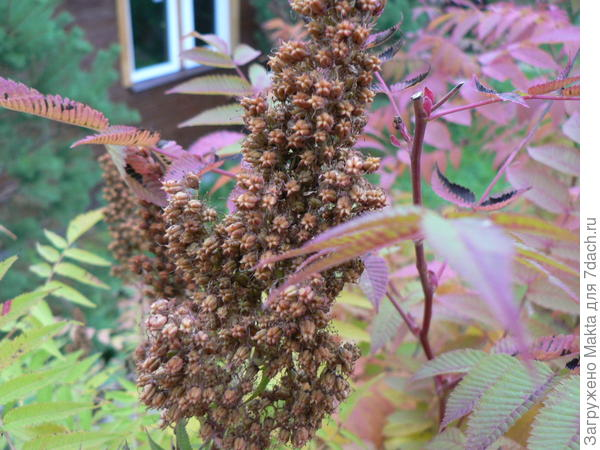Метёлка после цветения
