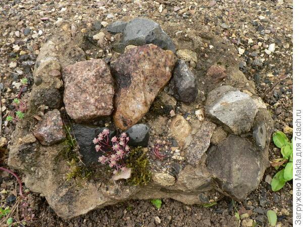 очиток на голом камне