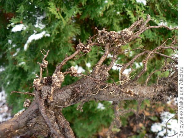Скелетный корень с клубеньками