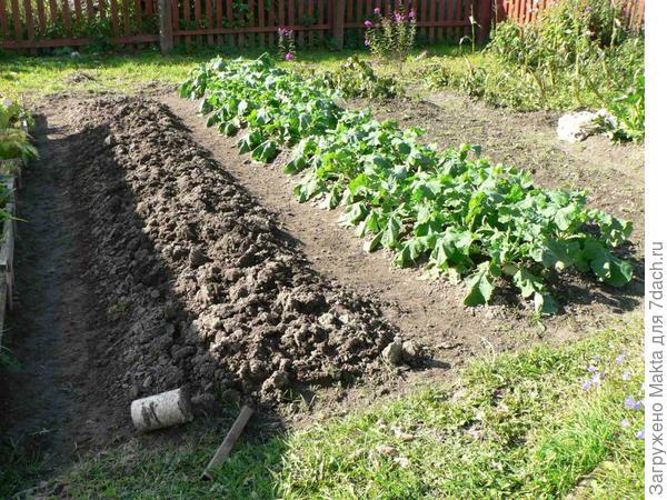 Часть огорода - грядка с брюквой