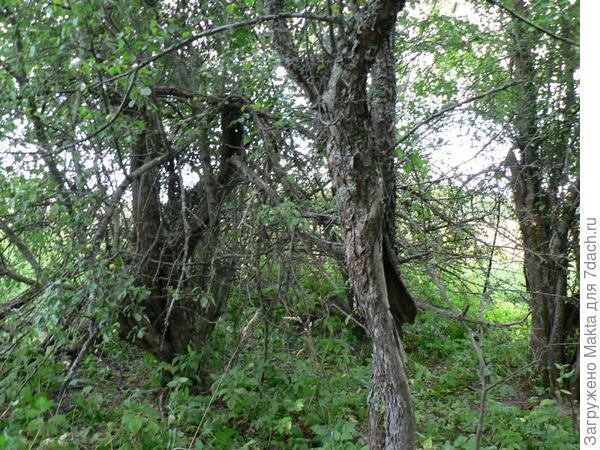 старый яблоневый сад в деревне Михальцево, которой нет на картах