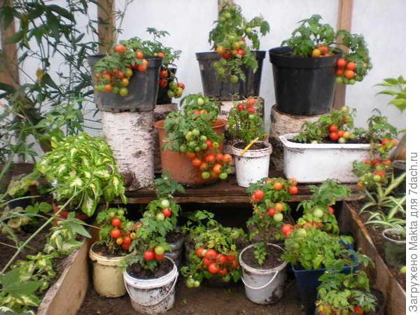 Часть томатов поедет в город))