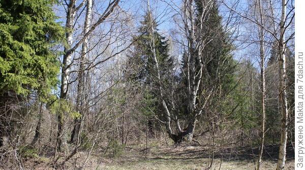 Старая берёза на месте хутора