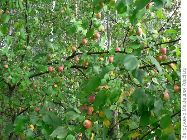 Эта же яблоня в сентябре