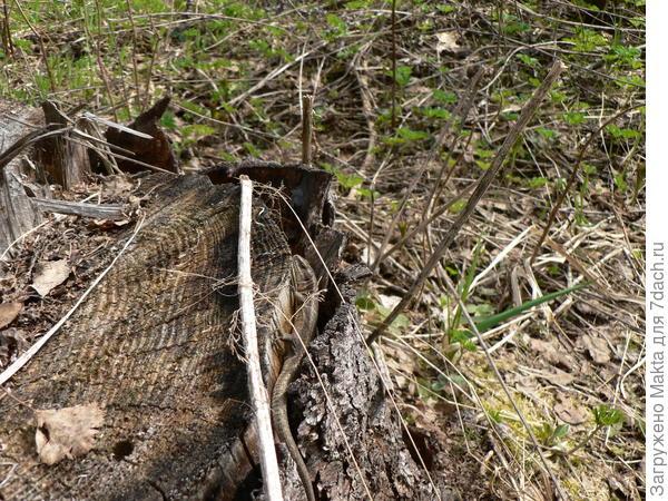 Пень с греющейся ящерицей