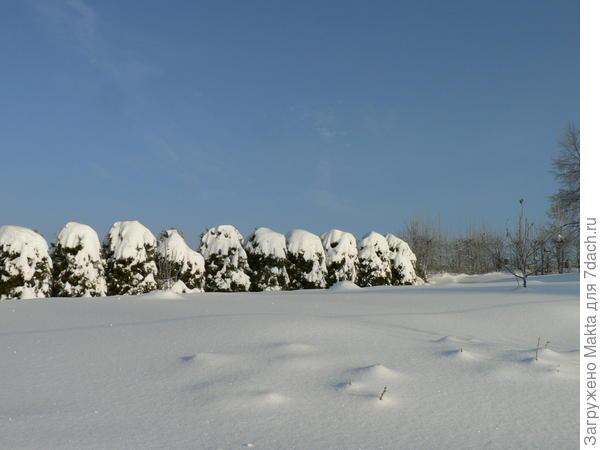 кусты крыжовника под снегом