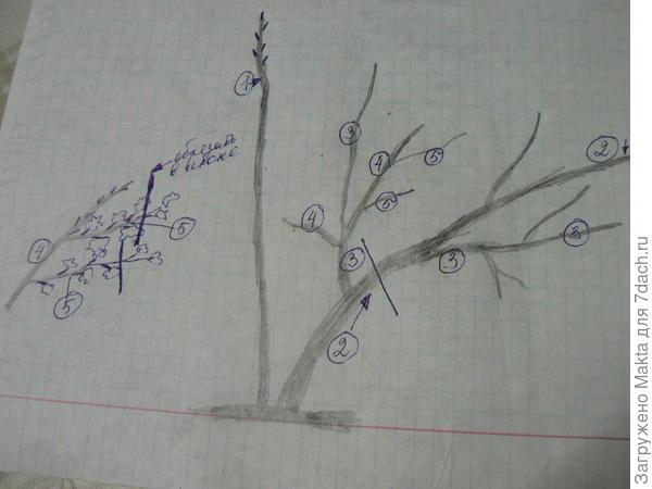схема части куста крыжовника