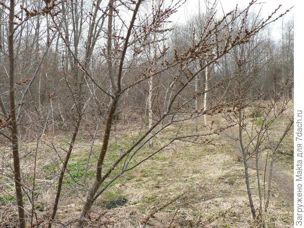 2 мужских куста облепихи за оградой участка