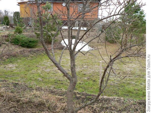 26 апреля - почки на мужском дереве облепихи раскрылись