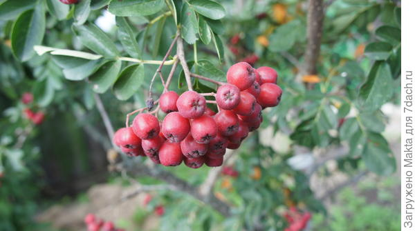 Середина июня - гроздь рябины десертной