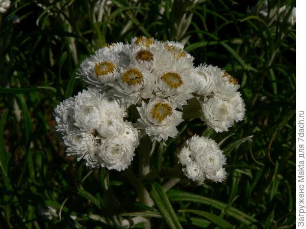 Цветущий Анафалис