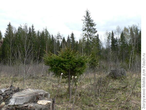 Ель после подрезки на лесной вырубке