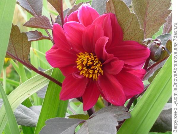 Стихи о георгинах цветах
