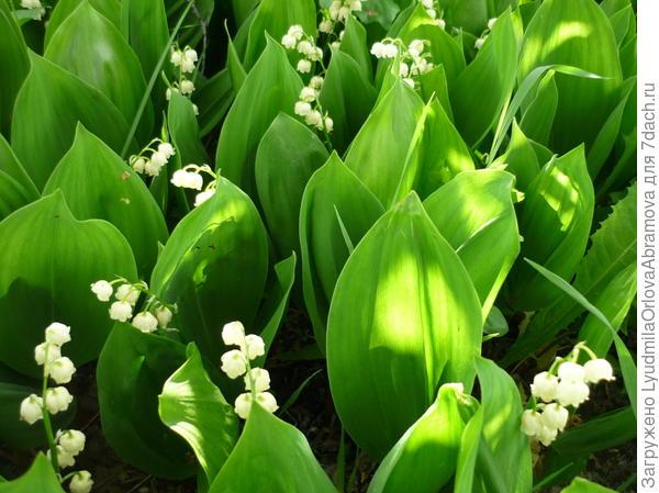 Пахнет ландышем весной!