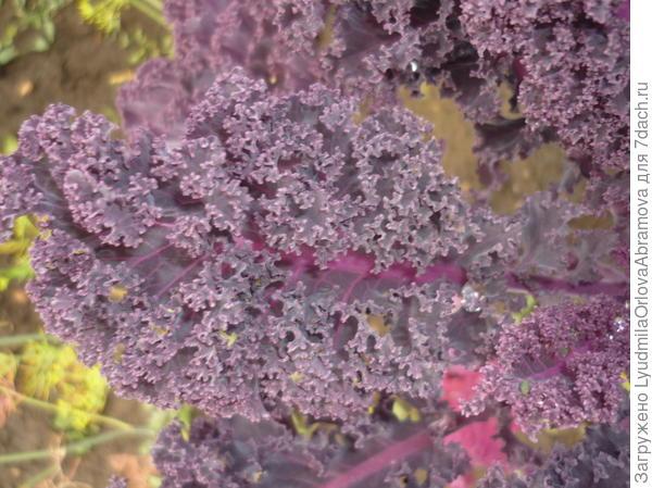 Лист декоративной капусты