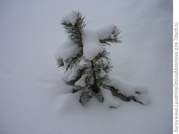 Маленькая сосенка в снегу