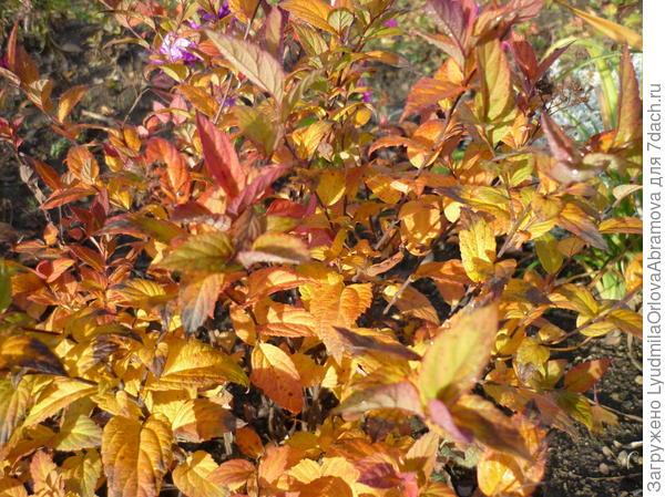 Спирея осенью