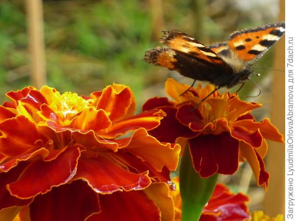 Бабочки на бархатцах