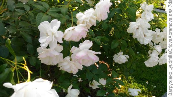 И много прекрасных роз.