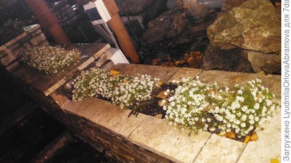 алиссум цветет... 31 октября...