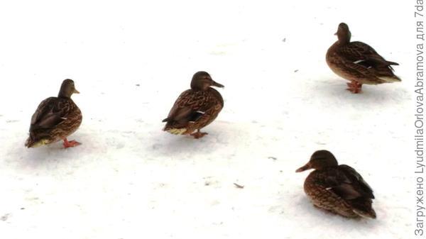 Из множества уток остались вот эти четыре. Пруд замерз... Как они будут зимовать... Их конечно подкармливают, в парке постоянно кто-то гуляет. Мамы с детишками, пенсионеры, просто прохожие. Но может ли утка зимовать вот так, без воды?