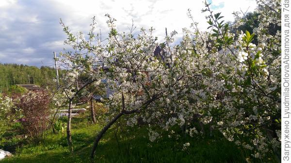 Дачи Екатеринбурга встречают праздник хоть и запоздалым, но буйным  цветением, а дачники - ударным трудом в садах и огородах.