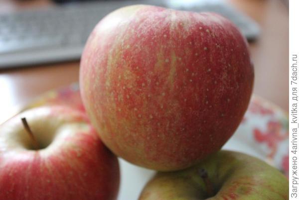 Сорт раннезимнего яблока Чемпион