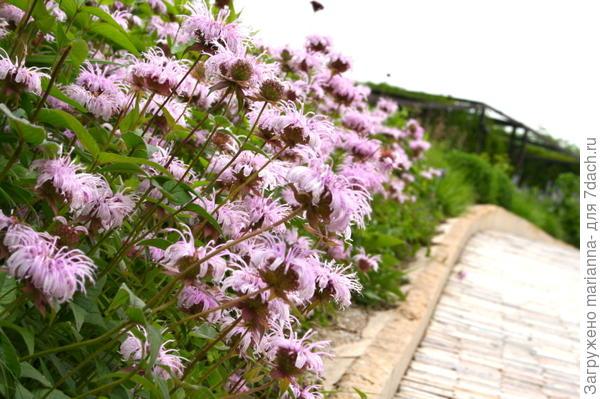 Монарда хаотическая (Monarda bradburiana L.C.Beck). Фото с сайта s-media-cache-ak0.pinimg.com