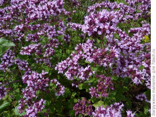 Душица обыкновенная (Oríganum vulgáre). Фото с сайта kentwasteland.files.wordpress.com