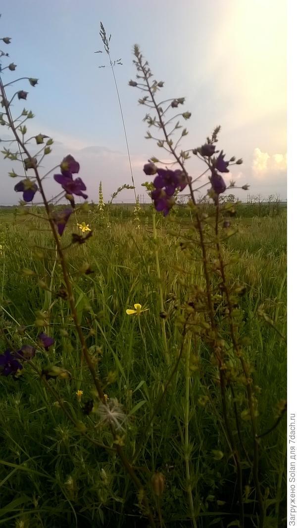 А эта нежность растет стайками и трепещет фиолетовым облачком при каждом дуновении ветра!
