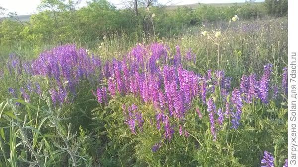 целые фиолетовые поляны!