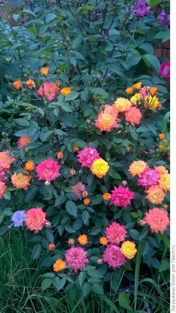 Сиреневая роза ( в правом верхнем углу)