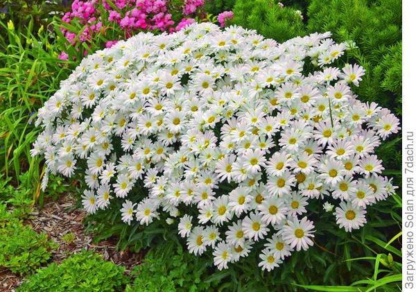 Все равно не те. Знаете, такие высокие по метру ростом и диаметр цветка , примерно 8 сантиметров? Моя подруга их очень любит, а я люблю, когда они большим кустом растут.