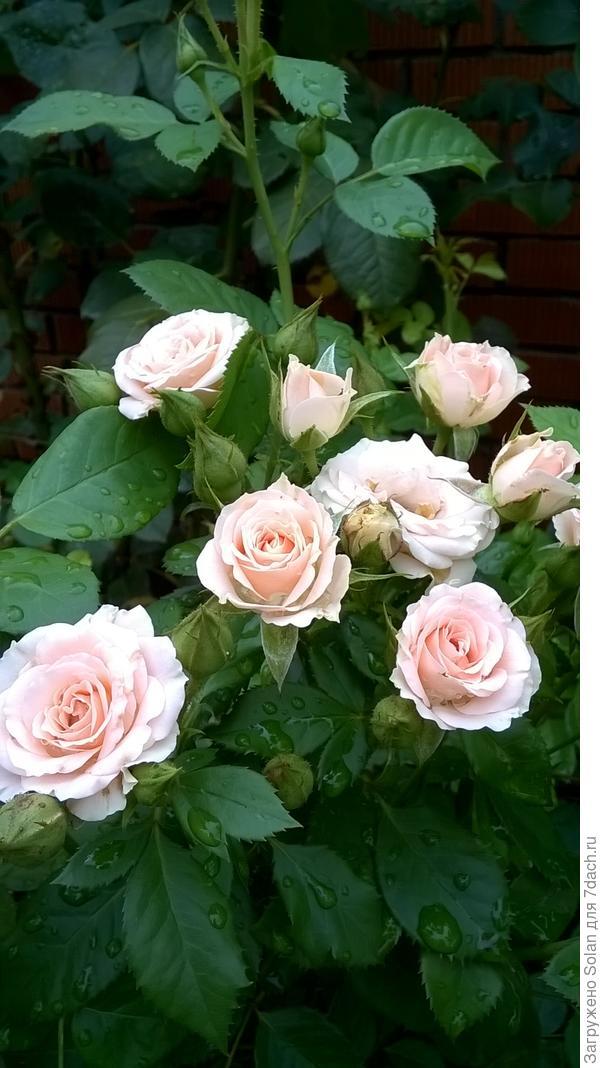 розам от жары такой пришлось туго, зато сейчас они выдохнули)))).