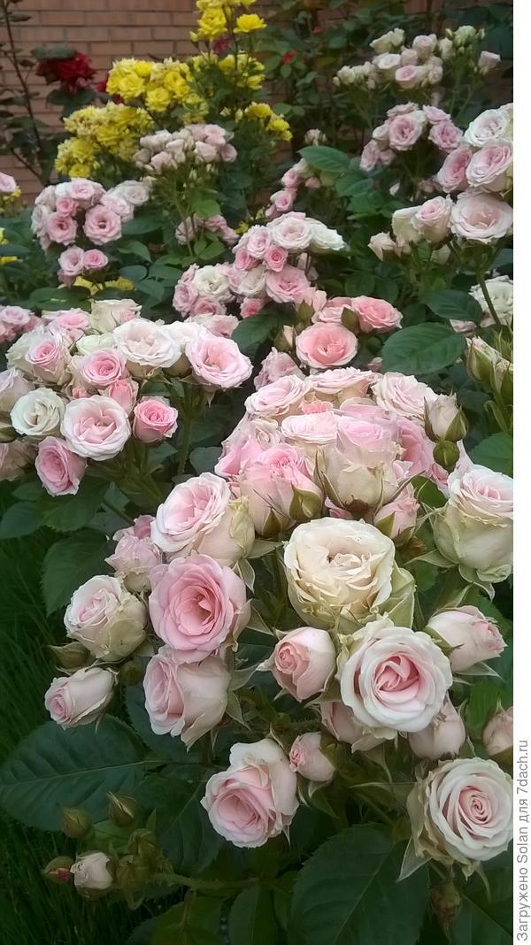 я правильно понимаю - у меня полиантовые розы? По описанию - все подходит, как мне кажется...