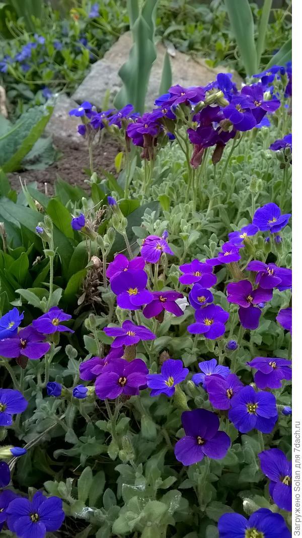 фото недельной давности. Сейчас она чудесным фиолетовым облаком стекает с камней!