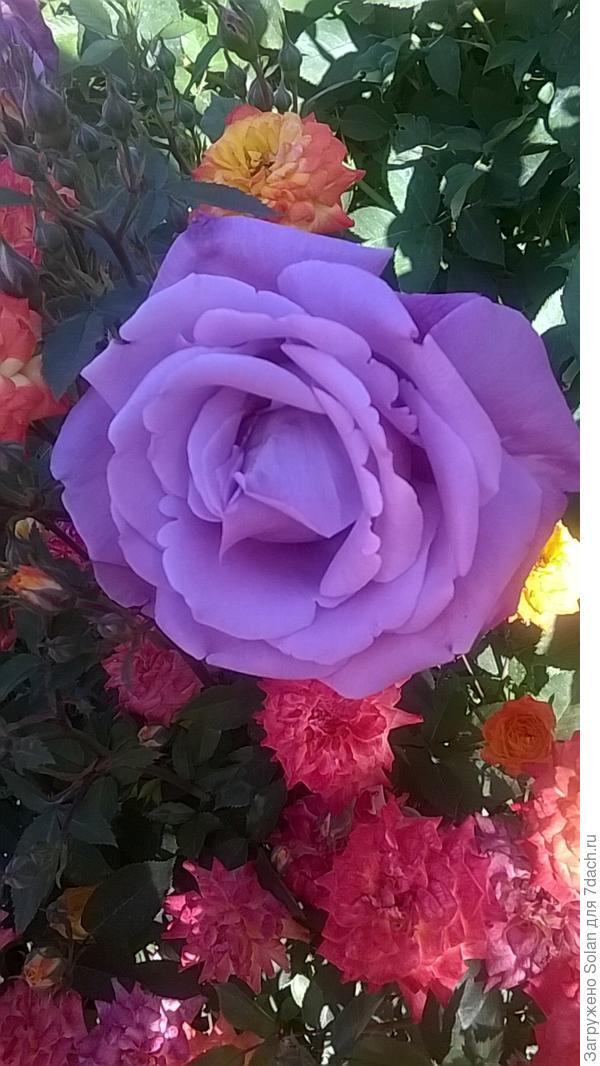 одной моей подруге нравится сиреневая роза. Для меня она, скорее-странность. Вам как?
