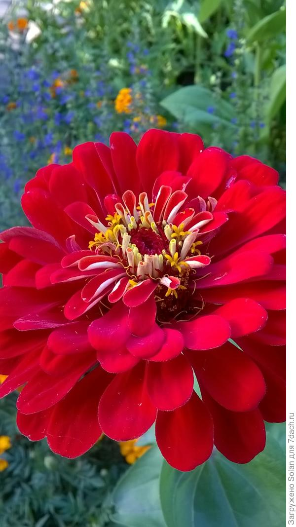 Однажды услышала о цинии выражение - банальный деревенский цветок. Не согласна.