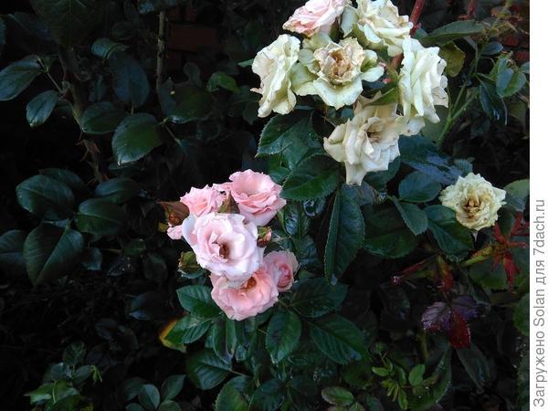 Так неприглядно отцветают. Собственно, как и все розы.