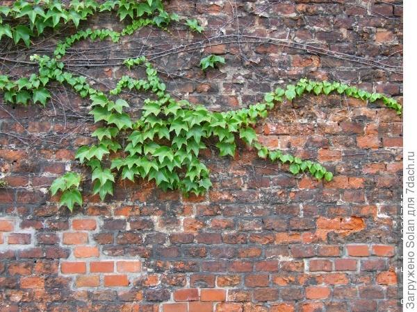 вот такой мне нравится)). У меня кирпичная стена, и я представляла, как эти заостренные салатовые листочки заплетают ее год за годом...