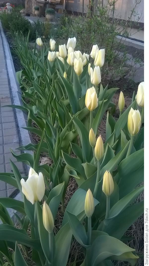 А тут высажено 30 белых тюльпанов, но, часть из них лилейные. А они только готовятся распуститься. Ой, мамочки! Это ж сколько еще сюрпризов впереди!!!!!!