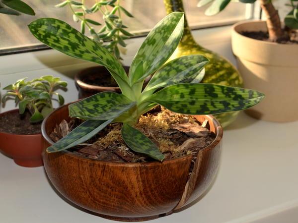 Пафиопедилум в бамбуке