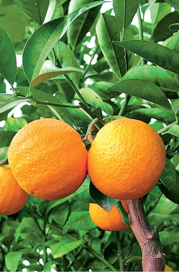 Апельсин Vainiglia