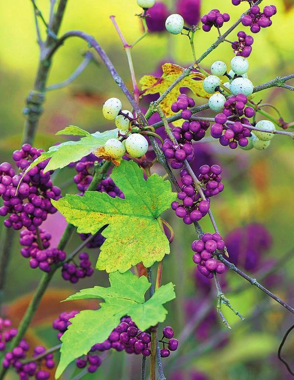 Виноградовник подходящий компаньон для красивоплодника лишь на первых порах.