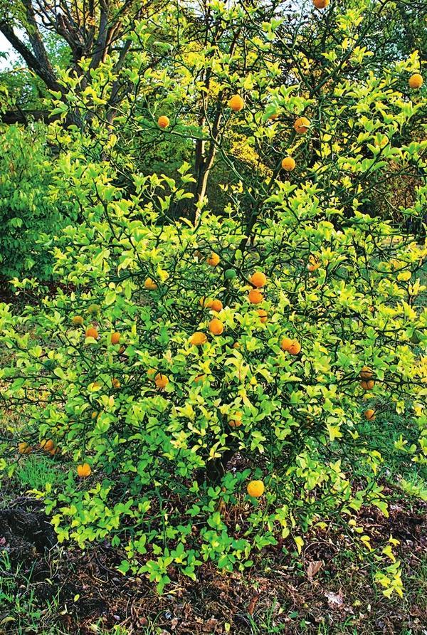 Понцирус трехлисточковый (Poncirus trifoliata)