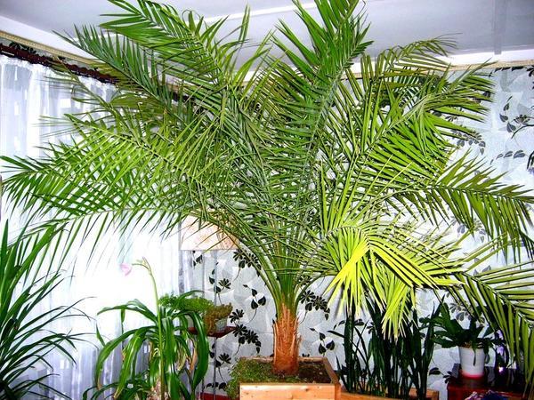 Финиковая пальма. Фото с сайта http://dachnicam.ru