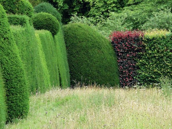 Живые стены из туи можно разнообразить вкраплениями декоративнолистных кустарников.