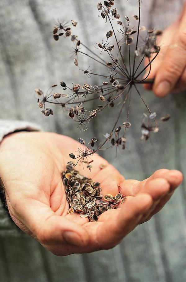 Не затягивайте со сбором семян, иначе они осыплются.