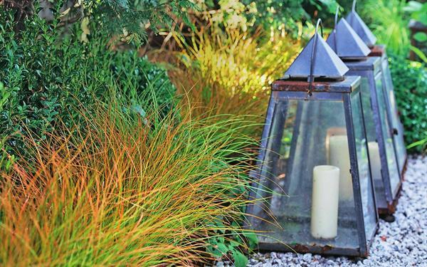 Новозеландская терракотовая осока Carex testacea
